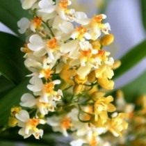 Орхидея «онцидиум»