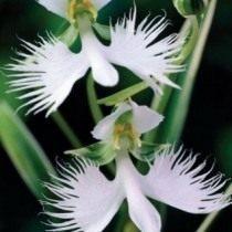 Орхидея «хабенария»