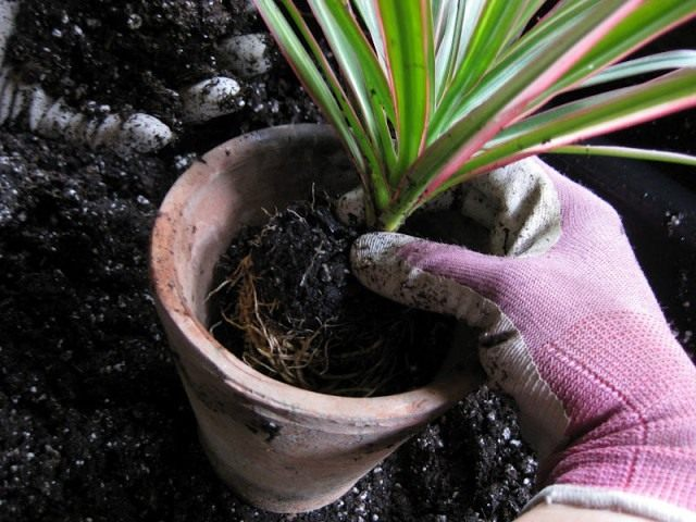 Пересадите растение в горшок