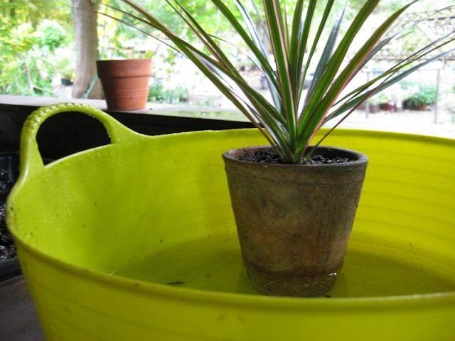 Поставьте горшок с растением в ёмкость с водой