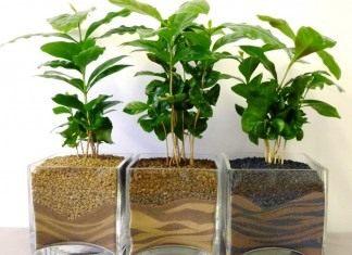Ростки кофейного дерева. Кофе аравийский, или, Кофейное дерево аравийское (Coffea arabica)