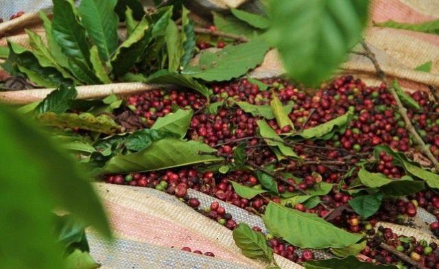 каждая ягода содержит два кофейных зерна