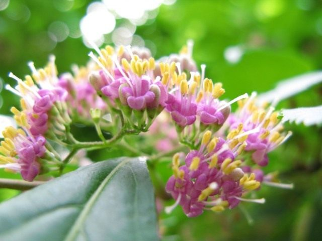 Соцветия красивоплодника японского