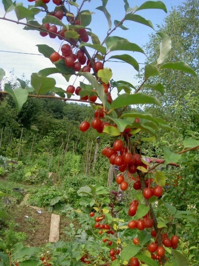 Ветка лоха многоцветкового с ягодами