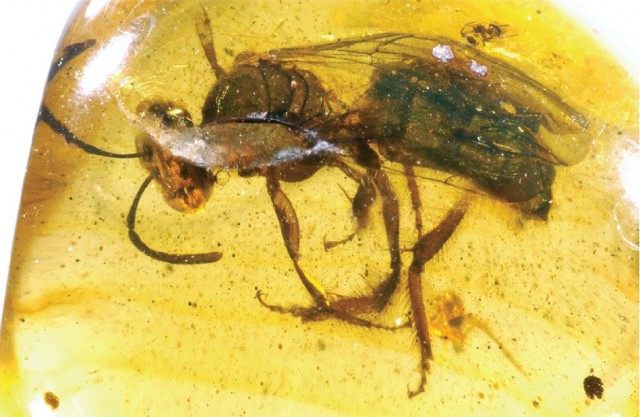 Самка ископаемой пчелы Oligochlora semirugosa из Доминиканского янтаря