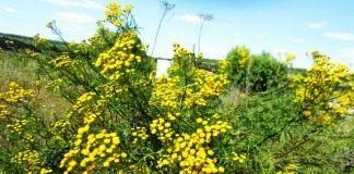 Пижма обыкновенная (Tanacetum vulgare)