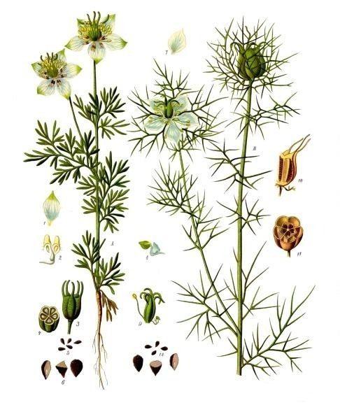 Чернушка посевная и Чернушка дамасская. Ботаническая иллюстрация из книги 'Köhler's Medizinal-Pflanzen', 1887