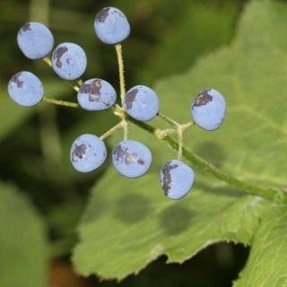 Плоды Двулистника Грея