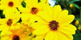 Цветки топинамбура