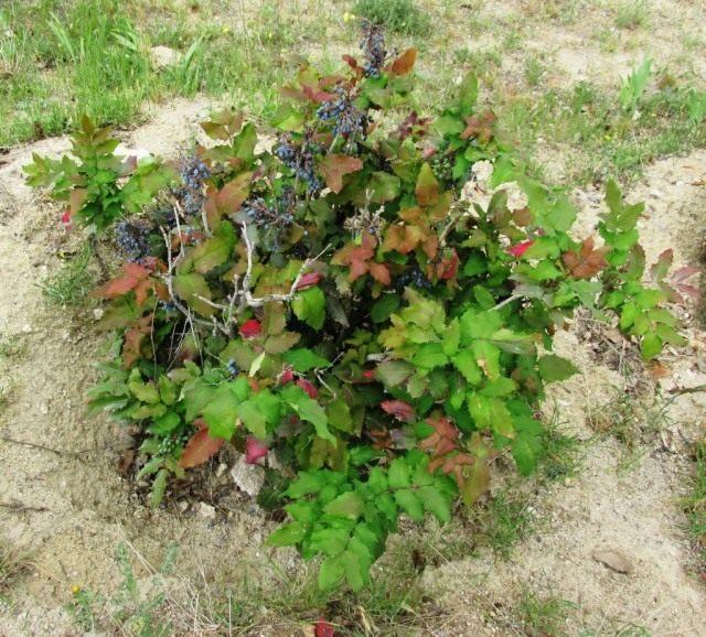 Общий вид растения магонии падуболистной с ягодами