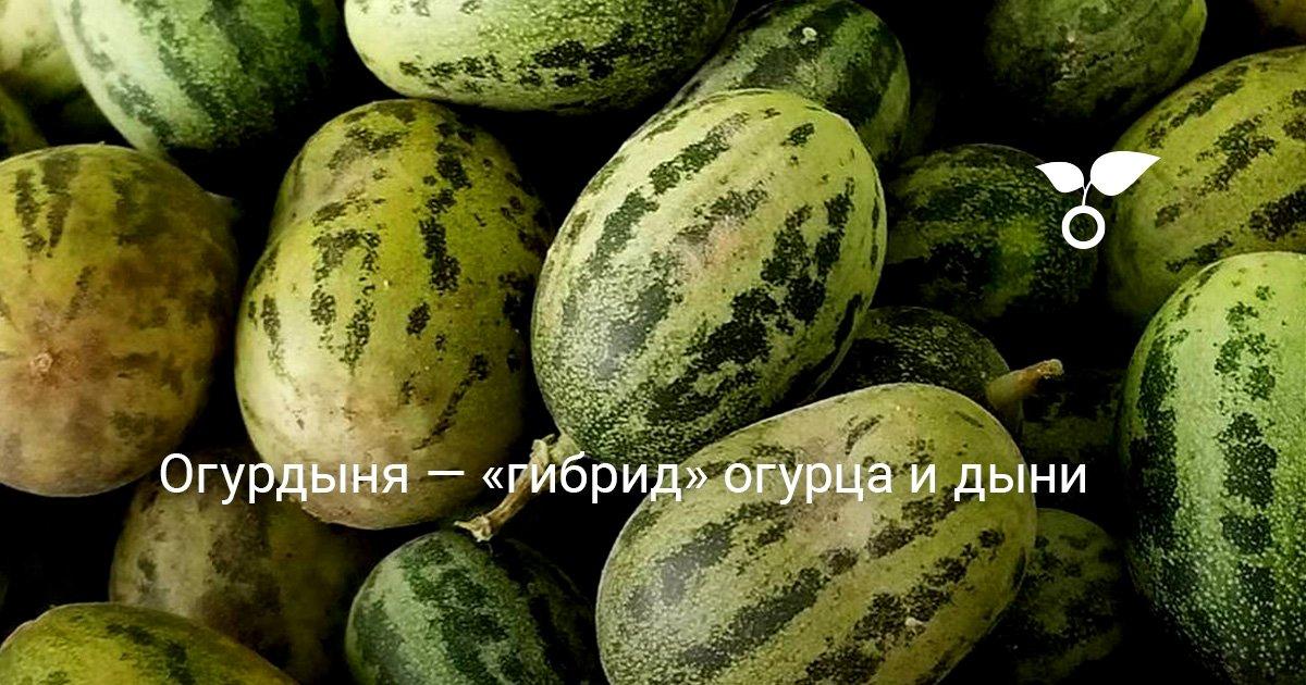 Выращивание огурдыни - МыДачники