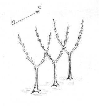 Рис. 1. Карликовые яблони с двумя колонновидными побегами