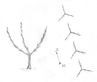 Рис. 2. Карликовые яблони с тремя колонновидными побегами