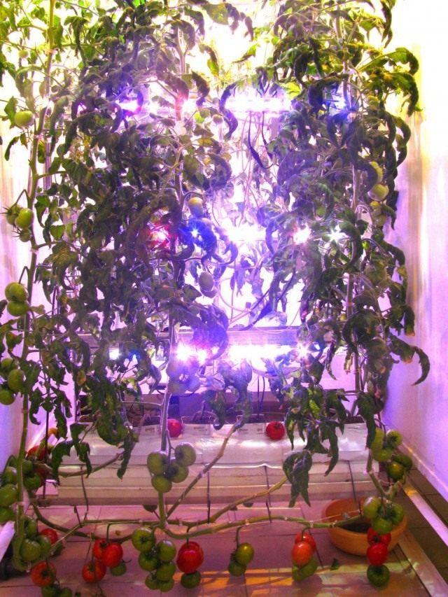 Томаты под светодиодными светильниками