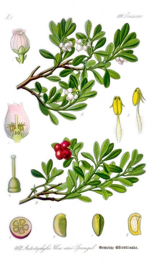 Толокнянка обыкновенная. Ботаническая иллюстрация из книги О. В. Томе «Flora von Deutschland, Osterreich und der Schweiz», 1885