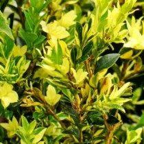 Самшит «Latifolia maculata»