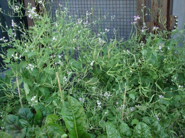 Редис стручковый вид на растения