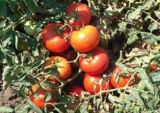 Смотрите количество и качество плодов без полива