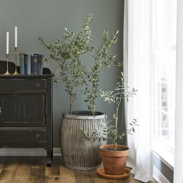 Оливковое дерево в комнатных условиях
