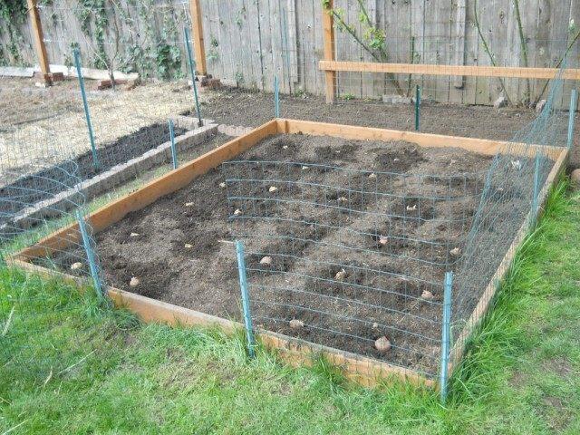 Расчищаем участок под посадку и раскладываем картофель