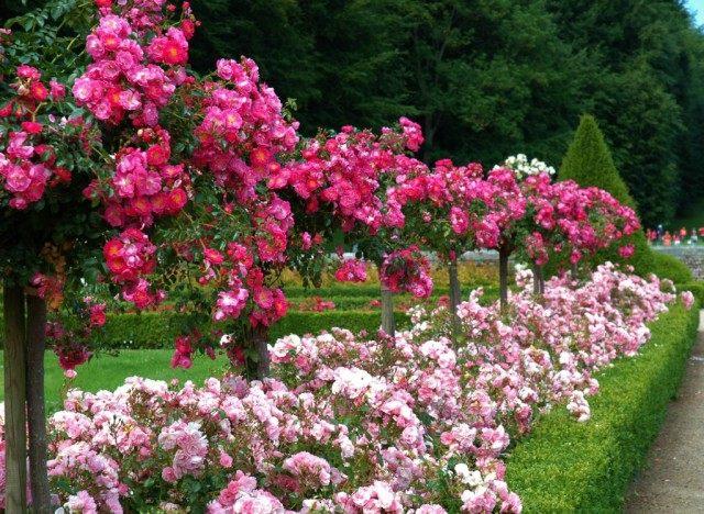 Миксбордер из Штамбовых роз, роз флорибунда и мирта