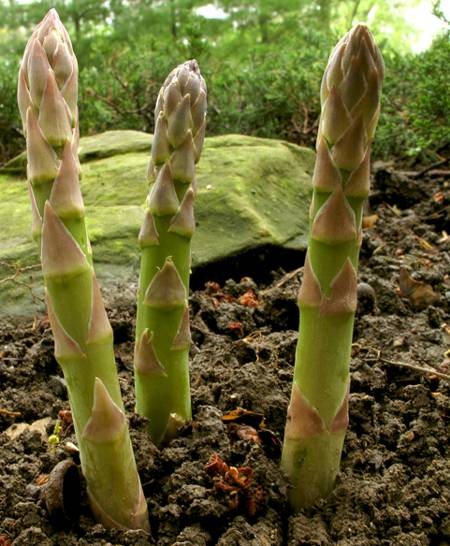 Съедобные ростки спаржи