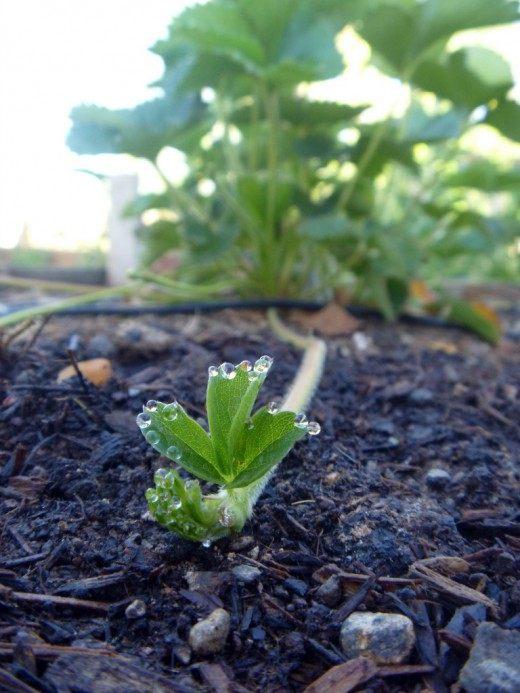 Земляника садовая, Клубника