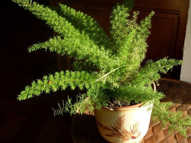 Аспарагус густоцветковый (Asparagus densiflorus)