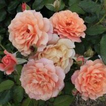 Роза, сорт 'Fiona Gelin' селекции Guillot