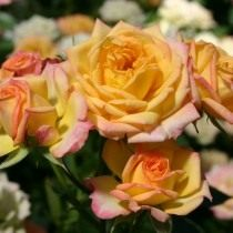Роза, сорт 'Little Sunset' селекции Kordes