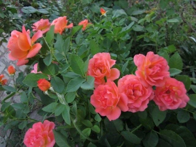 Роза, сорт 'Orange Dаwn' селекции Warner
