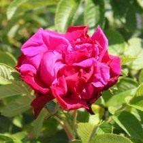 Роза, сорт 'Purple Rоadrunner' селекции Kordes