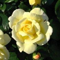 Роза, сорт 'Sunstar' селекции Kordes