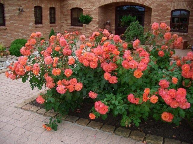Роза, сорт 'Westerland' селекции Kordes