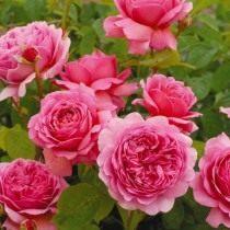 Роза, сорт 'Princess Alexandra of Kent' селекции Austin