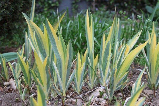 Ирис бледный (Iris pallida)