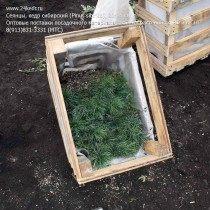 Упаковка сеянцев кедра сибирского для транспортировки