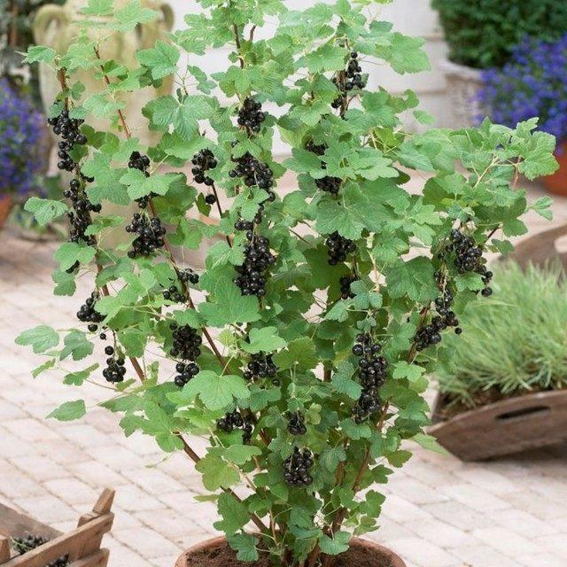 Куст чёрной смородины