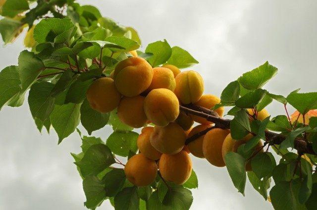 Плоды абрикоса на ветке, сорт «Мускат»