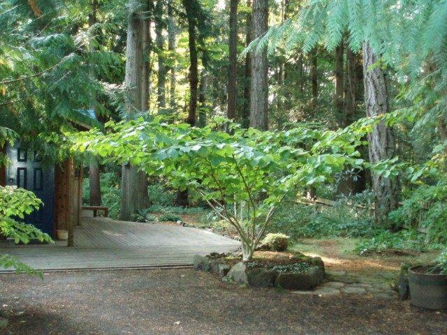 Гамамелис мягкий в дизайне сада