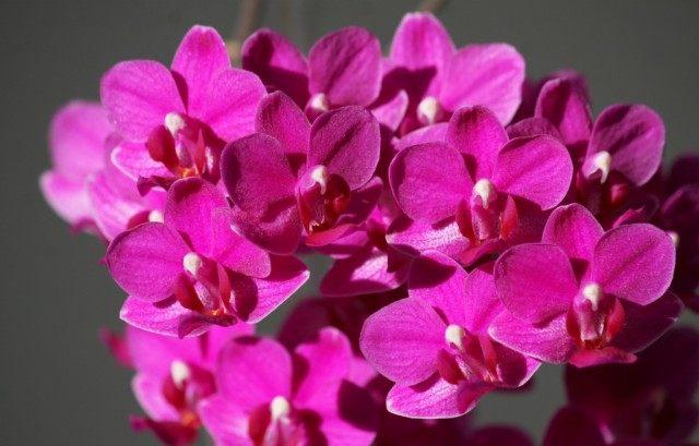 Орхидея фаленопсис розовый гибрид