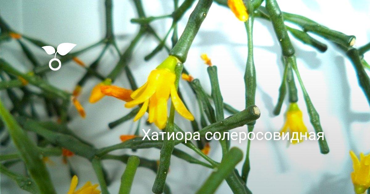 Хатиора 41 фото уход за комнатным цветком в домашних условиях цветение и размножение кактуса танцующих костей черенками виды хатиора солеросовая и гермина