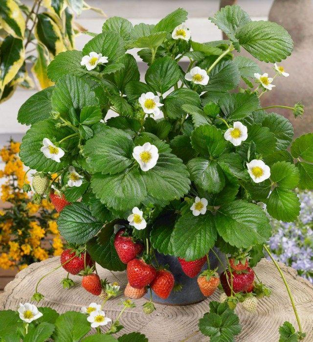 Клубника, выращиваемая в горшках