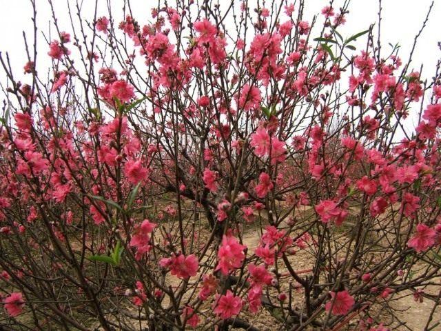 Персиковые деревья во время цветения