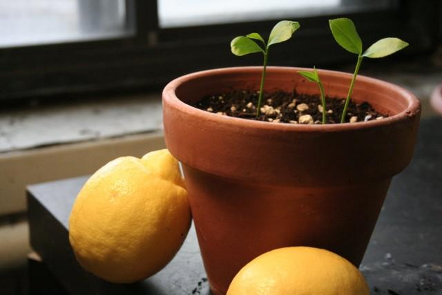 Ростки лимонного дерева