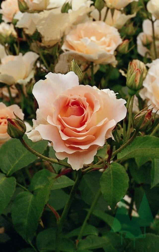 Роза «Рококо» (Rokoko)