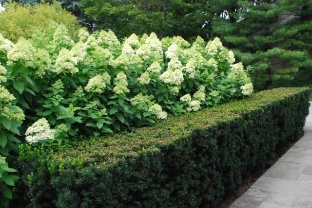 Изгородь из тиса обрамляет кусты гортензии