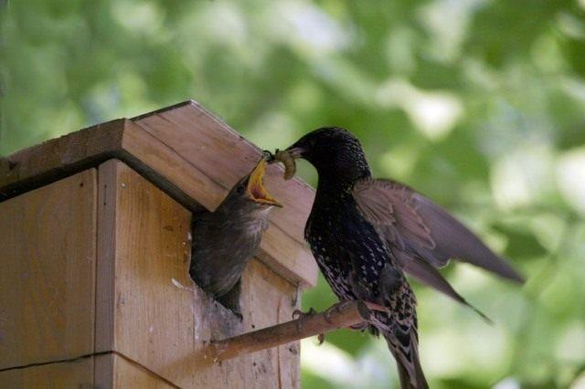 Скворец кормит птенца