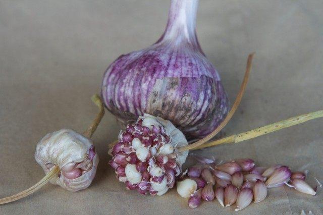 Луковица чеснока и бульбочки