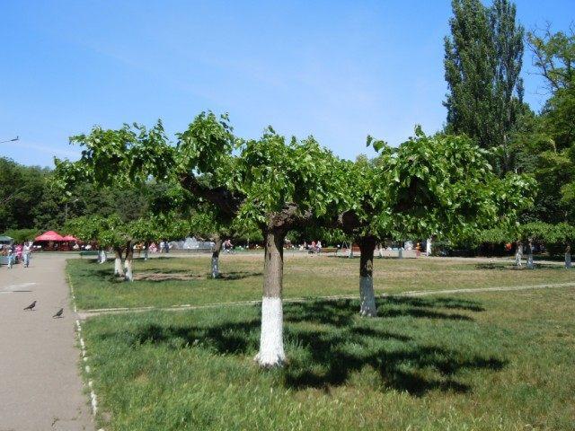 Шелковица в парке им. Горького, Одесса